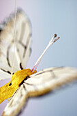 Bug, Bugs, Butterflies, Butterfly, Close up, Close-up, Closeup, Color, Colour, Concept, Concepts, Delicate, Handicraft, Handicrafts, Indoor, Indoors, Insect, Insects, Inside, Interior, Invertebrate, Invertebrates, Nature, Object, Objects, One, One item,