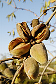 Organic farm. Almonds. Majorca. Balearic Islands. Spain