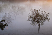 Organic farm. Almonds. Fog. Majorca. Balearic Islands. Spain
