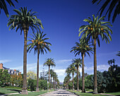 Palm trees, South windsor avenue, Hollywood, Los Angeles, California, USA.
