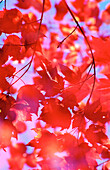 Red maple leaf abstract