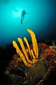 Underwater photographer and yellow finger sponge (Callyspongia ramosa). Hope Point. Poor Knights Islands. New Zealand. South Pacific Ocean.