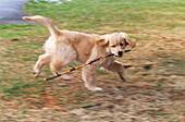 Aktivität, Außen, Beissen, Biss, Bisse, Ein Tier, Eins, Farbe, Golden Retriever, Haustier, Haustiere, Horizontal, Hund, Hunde, Junge Hunde, Junger Hund, Jungtier, Jungtiere, Land, Laufen, Laufend, Laufende, Natur, Rasse, Rassen, Spielen, Spielend, Spiele