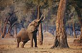African Elephant (Loxodonta africana). Mana Pools National Park. Zimbabwe