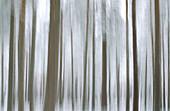 Impressions of Scots Pine (Pinus sylvestris). Woodland in winter. Strathspey. Highlands. Scotland. UK