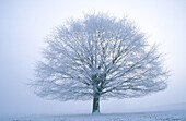 Beech tree in winter (Fagus sylvatica). Hoar frost on branches. Derbyshire. UK