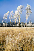 Silver Birch (Betula pendula) and grasses coated in hoar frost. Scotland. UK