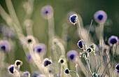 Field Scabious (Knautia arvensis). Flower heads in summer grassland. Cairngorms National Park. Scotland. UK