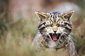 Wildcat (Felis silvestris). Close-up yawing. Highlands. Scotland
