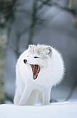 Artic fox (Alopex lagopus). Adult Yawing in winter coat. Norway