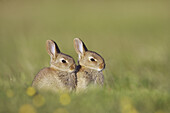 Rabbit (Oryctolagus cuniculus), two youngsters outside burrow entrance in late evening sun. Scotland. July 2005.