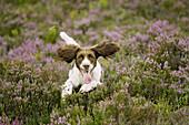 English Springer Spaniel dog running across heather moor in late summer. Scotland.