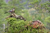European Jay (Garrulus glandarius) feeding on acorn in autumnal forest. Norway. September 2005.