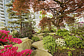 Azalea & Japanese Maple in urban rooftop garden [Rhododendron cv., Acer palmatum cv.]. Patterson, Vancouver, British Columbia. Canada