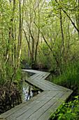 0500882 Wooden zig-zag boardwalk over wetland marsh in woods. Ferndale, Tennant L., WA.