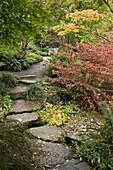Redvein Enkianthus by stone path w/ Japanese Maples, Hostas (Enkianthus campanulatus; Acer palmatum; Hosta cvs.). Bellevue Botanical Garden, WA.