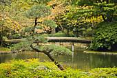 Small Pine w/ 77-log bridge at edge of pond soft bkgnd, autumn (Pinus sp.; Nandina domestica). Nitobe Memorial Garden, UBC, Vancouver, BC.