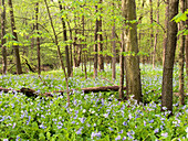Deciduous forest and bluebells (Mertensia virginica). Starved Rock State Park, Illinois, USA.