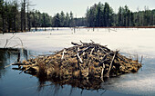 Beaver lodge in lake created by beaver activity