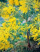 Wattle (Acacia decurrens)