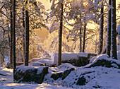 Snowy Pine forest. Västerbotten. Sweden