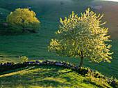 Wild cherry tree (Prunus avium) and a oak (in the background) in Skane. Sweden