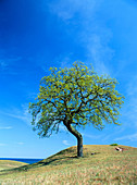 Lonely oak close to the shore in Skane. Sweden