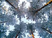 Snowcovered trees (Pinus sylvestris) against the sky. Vebomark. Vasterbotten. Sweden