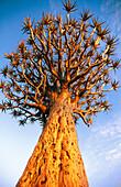 Crown of a quiver tree (Aloe dichotoma). Namibia