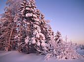 Snowcovered trees and moon. Blabarsliden. Västerbotten, Sweden