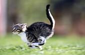 A running kitten. Medle, Västerbotten, Sweden