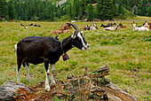 Goats on alpine pasture, Alp da Cavloc, Maloja Pass, Engadin, Grisons, Switzerland