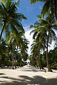 Palm tree lined path, Four Seasons Resort Landaa Giraavaru, Maldives