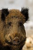 Wild boar (Sus scrofa), Bavarian Forest National Parc, Lower Bavaria, Bavaria, Germany