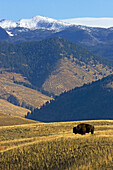 The American bison, or buffalo, in a vast landscape of America. Yellowstone National Park, USA
