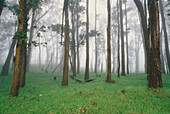 Trees in fog. Kohala Mountains. The Big Island, Hawaii. USA