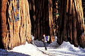 Backcountry skier looking up at Giant Sequoias in the Senate Grove. Giant Forest. Sequoia National Park. California. USA
