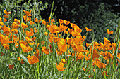 California Poppies (Eschscholzia californica) on hillside, Figueroa Mountain, Los Padres National Forest, California