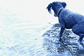 Activity, Animal, Animals, Bathe, Bathes, Bathing, Coast, Coastal, Color, Colour, Contemporary, Daytime, Dog, Dogs, Exterior, Horizontal, Mammal, Mammals, One, One animal, Outdoor, Outdoors, Outside, Pet, Pets, Sea, Shore, Shores, Water, Wet, G85-279465,