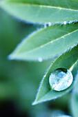 Close up, Close-up, Closeup, Color, Colour, Concept, Concepts, Delicate, Detail, Details, Drop, Droplet, Droplets, Drops, Ephemeral, Leaf, Leaves, Nature, One, Plant, Plants, Purity, Vertical, Water, Wet, G85-312876, agefotostock