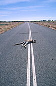 Dead kangaroo on Outback highway. Australia