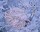 Frosty leaf on ground