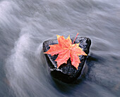 Leaf of maple in autumn colors on stones in small creek