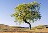 Solitaire oak tree (lat. Quercus sp.) By the Baltic Sea. Österlen, Skåne, Sweden, Scandinavia, Europe.