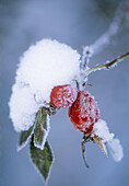 Frost and snow on rosehip (lat. Rosa sp.).Sweden, Scandinavia, Europe.
