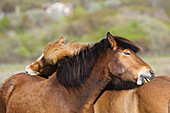 Two icelandic horses scrubbing each others back