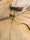 Background, Backgrounds, Botany, Close up, Close-up, Closeup, Color, Colour, Cross-section, Cut down, Detail, Details, Logging industry, Lumber industry, Natural background, Natural backgrounds, Nature, Surface, Surfaces, Texture, Textures, Timber indust