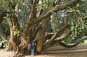 Christmas tree (Metrosideros excelsa). Palheiro Garden (former Blandy s Garden). Madeira Island. Portugal