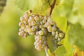 White vine grapes. Frickenhausen. Franconia. Bavaria. Germany