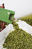 Grape harvest at vineyard. Frickenhausen. Franconia. Bavaria. Germany